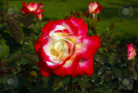 Flowers stock photo, Rose Double Delight by Pavel Cheiko