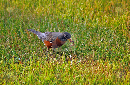 American robin stock photo, American robin on the ground, eating a worm by Pavel Cheiko