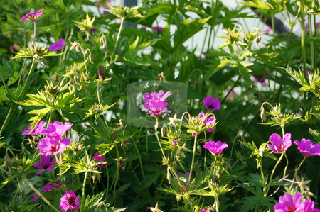 Flowers stock photo, Magenta flowers in sunset light in green grass background by Pavel Cheiko