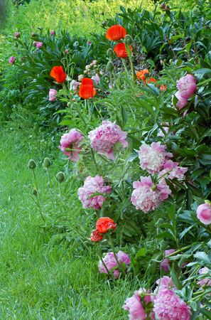 Flowers stock photo, Red poppies and pink peonies in garden by Pavel Cheiko