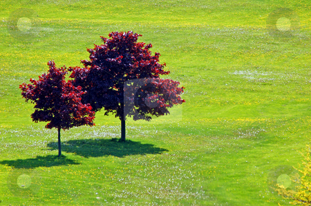 Trees stock photo, Landscape - Two trees on the field with small flowers by Pavel Cheiko