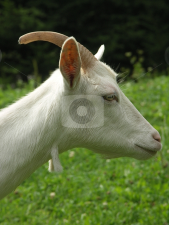 Goat stock photo, Photo by Bartlomiej Jurkowski