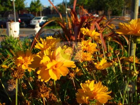 Yellow Coreopsis Flower stock photo,  by Michael Felix