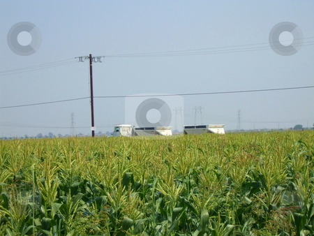 Corn Plants stock photo,  by Michael Felix