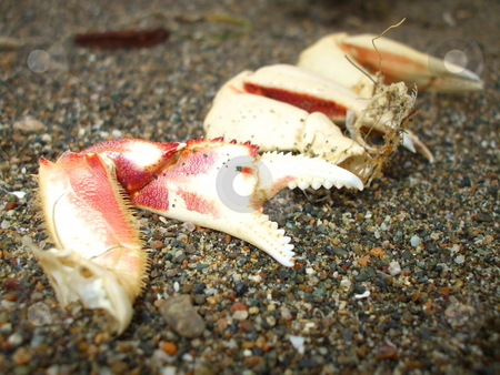 Crab Pincers stock photo,  by Michael Felix