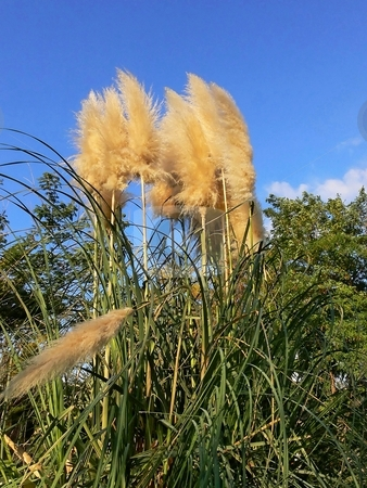 Pampas grass. stock photo, Tall pampas-grass in an park in Israel under blue sky. by Horst Petzold
