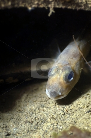 Eel Pout stock photo,  by Greg Amptman