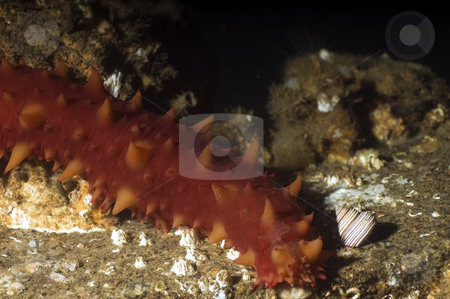 Sea Cucumber with Marine Snail stock photo,  by Greg Amptman