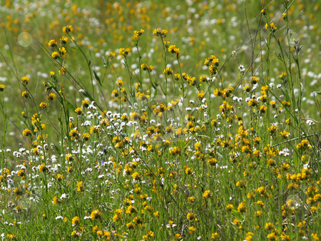 Yellow and white wild flowers amid green stalks stock photo, Green field of yellow and white wild flowers by Jeff Cleveland