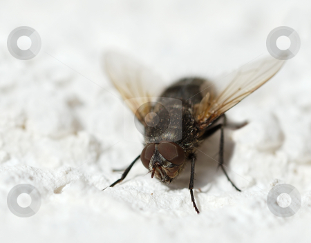 Fly stock photo, Close-up of a fly showing structure of it's compound eyes. by Ivan Paunovic