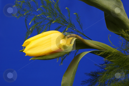 Flower stock photo, Beautiful yellow tulip made on blue background by Jolanta Dabrowska