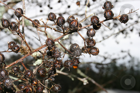 Crepe Myrtle Seed Pods stock photo, Seed pods on a crepe myrtle shrub in the spring after a rain. by Betty Hansen