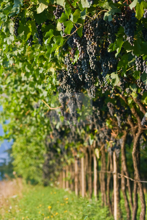 Ripe grape bunches stock photo, Ripe grape bunches ready to be gathered. Extremely shallow DOF. Focus on a bunch up on the right by Natalia Macheda