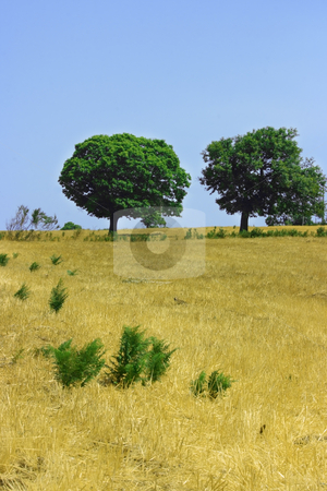 Two green trees on yellow field stock photo, Twot green trees on a field of whear after harvesting by Natalia Macheda