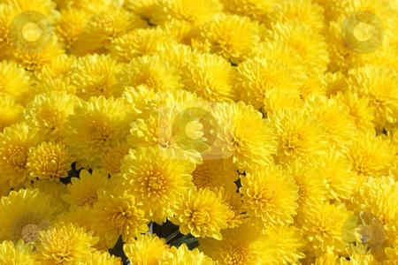 Yellow chrysanthemum background stock photo, Background of flowerheads of yellow chrysanthemum by Natalia Macheda