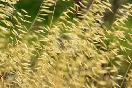 Dry grass background stock photo, Natural backround of wild dry cereal plant. Extremely shallow DOF by Natalia Macheda