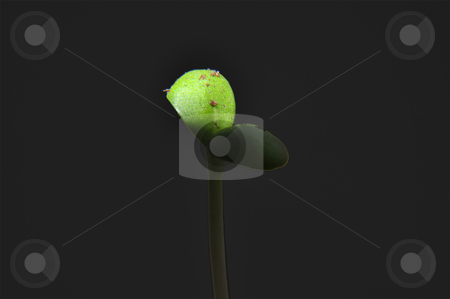Seedling stock photo, Closeup of a seedling isolated on black background by Nils Volkmer