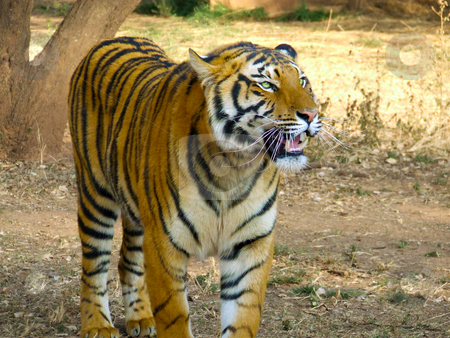 Panting Tiger stock photo, Tiger panting and walking through grassland by Chris Alleaume