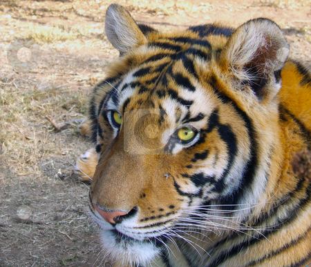 Beady tiger eyes stock photo, Tiger watching with beady eyes by Chris Alleaume