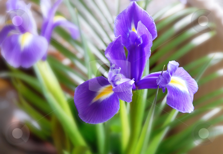 Purple iris stock photo, Purple opened iris flower over green blur background by Julija Sapic