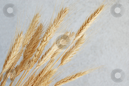 Wheat ears stock photo, Yellow dry wheat ears over gray background by Julija Sapic