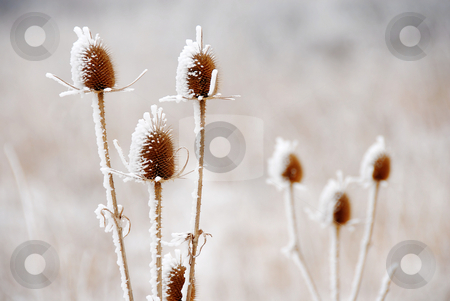 Icy plants stock photo, Ice crystals on frozen dry plant closeup by Julija Sapic