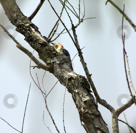 Woodpecker stock photo, Woodpecker perched on side of a tree branch by Marburg