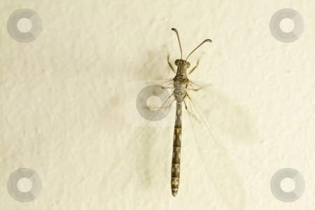 Small dragon fly stock photo, Close up of a small dragon fly on a wall by Chris Alleaume