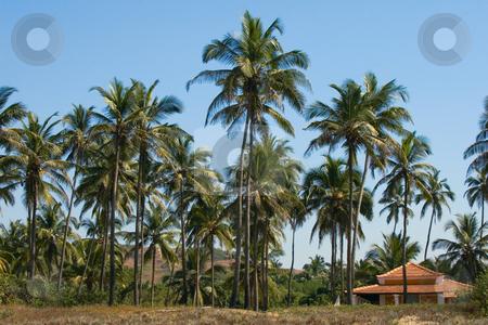 Coconut trees stock photo, Coconut trees by Andrey Butenko