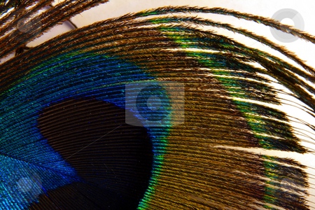 Peacock feather stock photo, Colorful peacock feather;