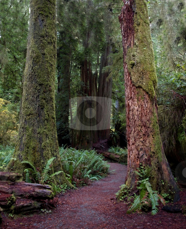 Colorful momssy redwood trunks stock photo, Path through a pair of colorful mossy redwood tree trunks by Jill Reid