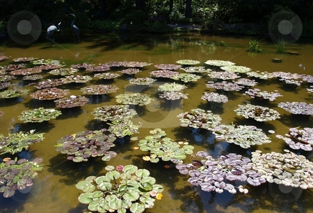 Lily Pads in Pond stock photo, Lily pads floating in water in Oregon park by Jill Reid