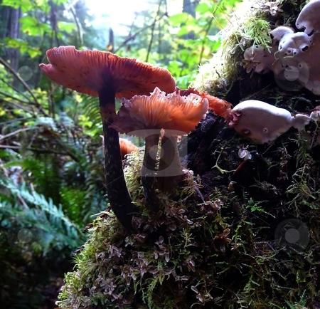 Mushrooms growing on tree stock photo, Mushrooms growing on bark of tree in forest in Oregon by Jill Reid