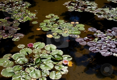 Lily pads stock photo, Pattern of lily pads and aquatics in pond by Jill Reid
