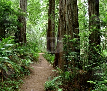 Hiking path through the redwood forest 773A stock photo, Hiking path through the redwood forest by Jill Reid