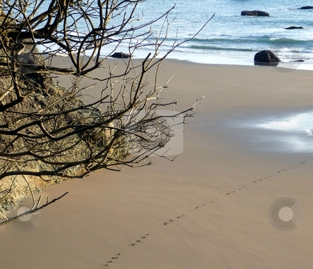 Dogprint trail in sandy beach stock photo, View down to a trail of dogprints on a sandy beach to the shore by Jill Reid