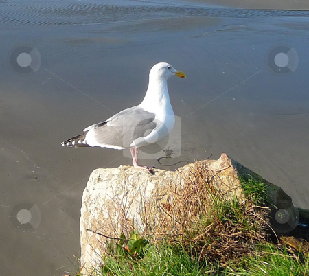 Seagull perched on rock stock photo, Seagull perched on rock overlooking the beach and shore by Jill Reid