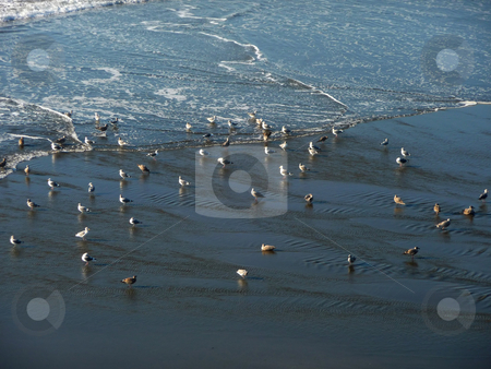 Seagulls on the shore stock photo, Grouping of seagulls playing on the shore by Jill Reid