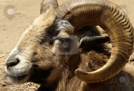 Close-up of bighorn sheep stock photo, Close-up of bighorn sheep by Jill Reid