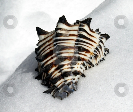 Striped colorful seashell in the snow stock photo, Interesting view of colorful striped seashell in the snow by Jill Reid