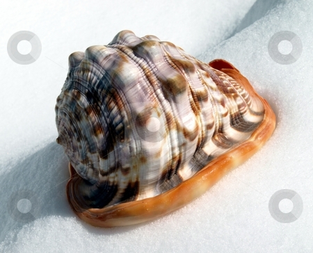 Colorful seashell in the snow stock photo, Interesting view of large colorful seashell in the snow by Jill Reid