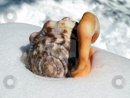 Large seashel with lip in the snow stock photo, Interesting view of large colorful seashell with smooth lip in the snow by Jill Reid