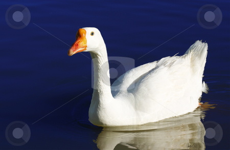 White Goose 62 stock photo, A White Goose paddling at Gilbert Arizona Riparian Water Preserve. A new park located in the middle of Gilbert, Arizona by Ralph Muzio