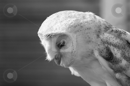 Barn Owl side view stock photo, Barn owl looking down, slightly side view by Helen Shorey