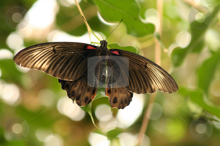 Large Black Butterfly stock photo, Black butterflybut could be a moth, in a butterfly house with light and foliage background by Helen Shorey