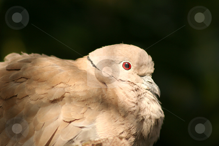 Collared Dove stock photo, Collared dove roosting in an avairy, fluffed up feathers and beady eye by Helen Shorey