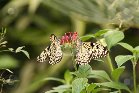 Two zebra butterflies stock photo, Two zebra butterflies feeding on a red flower by Helen Shorey