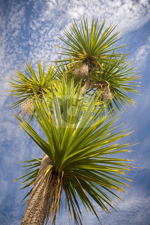 Cabbage tree stock photo, A very large cabbage tree in New Zealand by Angus Benham