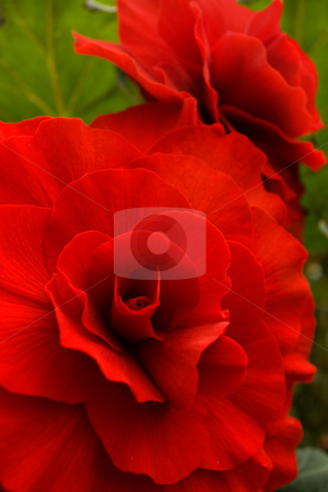 Begonia tuberhybrida hybrid stock photo, Red begonia tuberhybrida hybrid by Angus Benham