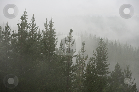 Misty Pine forest stock photo, Misty and wet pine forest by Angus Benham